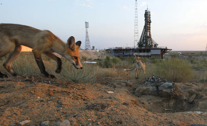 <p>Wild foxes walk in front of a launch pad prior the launch of the Soyuz-FG rocket booster with Soyuz MS space ship carrying a new crew to the International Space Station, ISS at the Russian leased Baikonur cosmodrome, Kazakhstan, Thursday, July 7, 2016. The Russian rocket carries U.S. astronaut Kate Rubins, Russian cosmonaut Anatoly Ivanishin, and Japan astronaut Takuya Onishi. (AP Photo/Dmitri Lovetsky) </p>