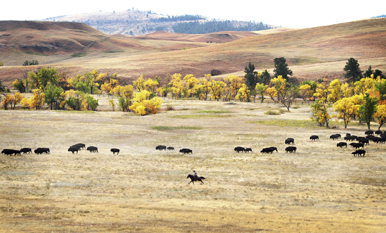 More than 1,000 buffalo thunder across the prairie land Monday, Sept. 24, 2012, during the 47th annual Buffalo Roundup in western South Dakota's Custer State Park. Event organizers estimate that more than 14,000 people attended the event. (AP Photo/Kristi Eaton)