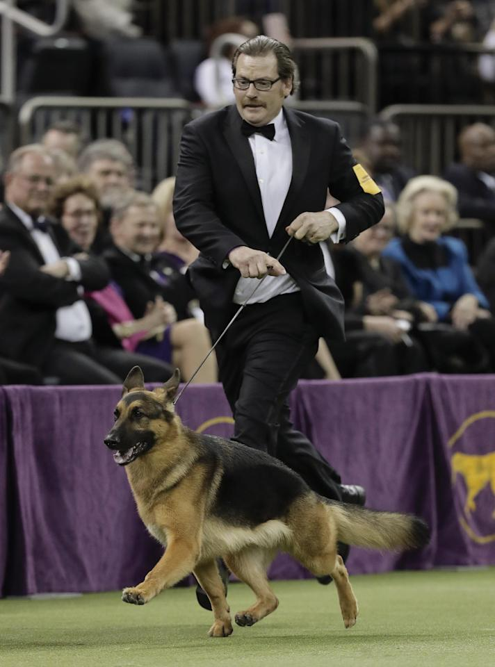 Handler and co-owner Kent Boyles guides Rumor, a German shepherd around the ring for the Best in Show competition during the 141st Westminster Kennel Club Dog Show, Tuesday, Feb. 14, 2017, in New York. Rumor won Best in Show. (AP Photo/Julie Jacobson)