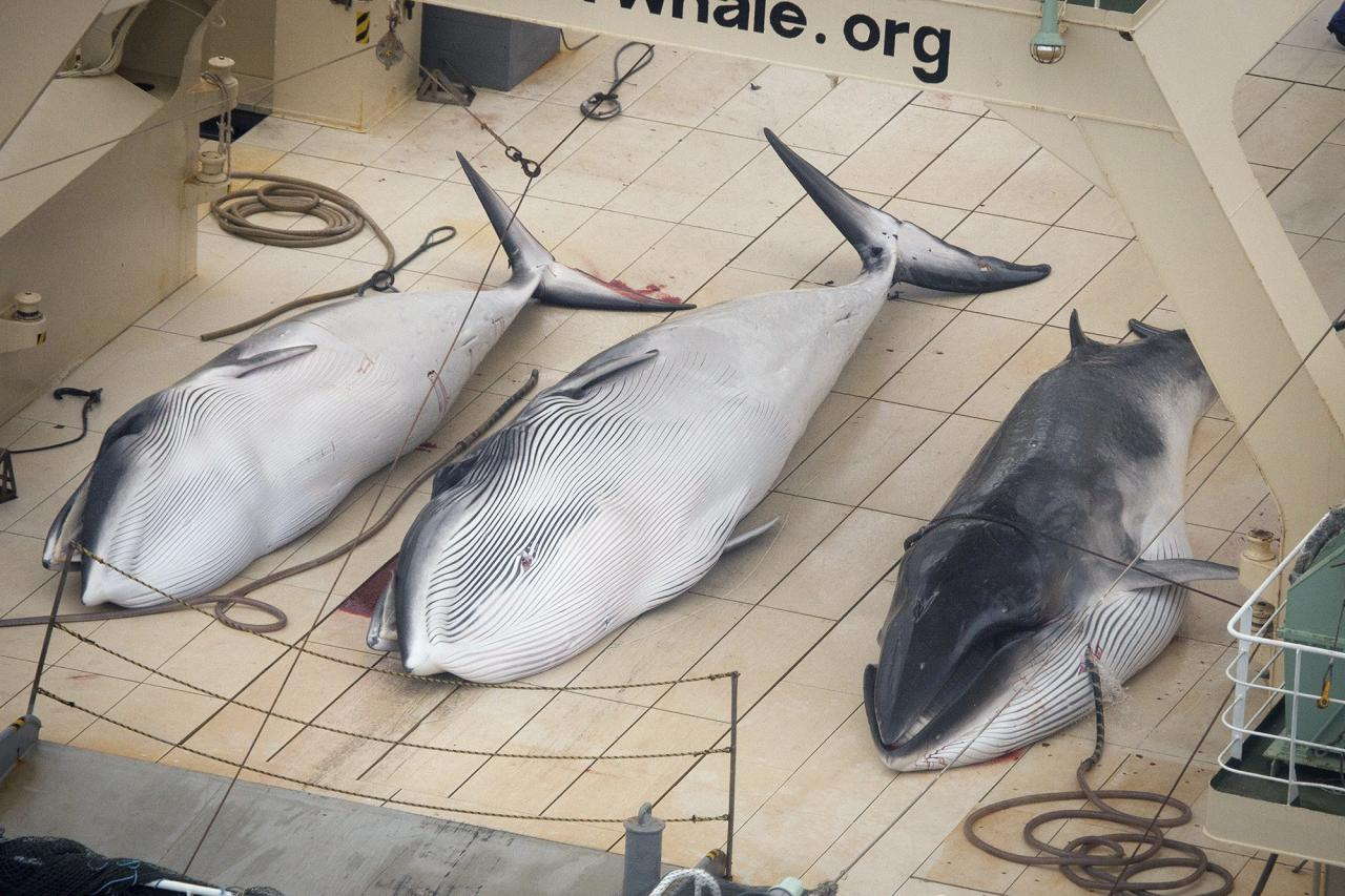 Three Minke whales are pictured on the deck of the Japanese whaling vessel Nisshin Maru inside what Sea Shepherd Australia says is an internationally recognised whale sanctuary in this handout image dated January 5, 2014. Aerial footage released by the Sea Shepherd Conservation Society appeared to show the bloodied remains of three minke whales on board the Japanese factory ship Nisshin Maru as it sailed in the Southern Ocean. The group said it had information that a fourth whale had also been killed. REUTERS/Tim Watters/Sea Shepherd Australia/Handout via Reuters (ANTARCTICA - Tags: POLITICS ANIMALS TPX IMAGES OF THE DAY) ATTENTION EDITORS - THIS IMAGE WAS PROVIDED BY A THIRD PARTY. FOR EDITORIAL USE ONLY. NOT FOR SALE FOR MARKETING OR ADVERTISING CAMPAIGNS. NO SALES. NO ARCHIVES. THIS PICTURE IS DISTRIBUTED EXACTLY AS RECEIVED BY REUTERS, AS A SERVICE TO CLIENTS