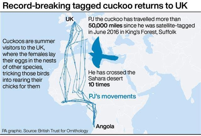 Record-breaking tagged cuckoo returns to UK