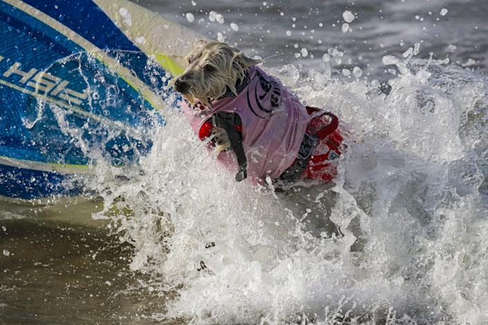 Petey catches a wave.