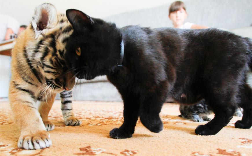 In this photo taken on Friday, June 29, 2012, Siberian tiger cub Clyopa plays with cat Masyanya in the house of Yekaterina Khodakova, whose Shar Pei dog Cleopatra is breastfeeding Clyopa and her sibling Plyusha in the Black Sea resort of Sochi. The cubs were born in late May in a small zoo at the Oktryabsky resport in Sochi, but their mother refused to feed them. Fewer than 400 Siberian tigers have survived in the wild, most of them in the cedar forests of Russia's Far East. (AP Photo/Igor Yakunin)