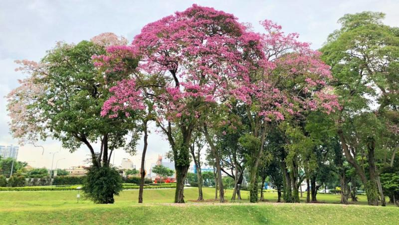 Singapore decked with pretty in pink sakuras as trumpet tree trumpet trees flowering along nicoll highway photo national parks board mightylinksfo