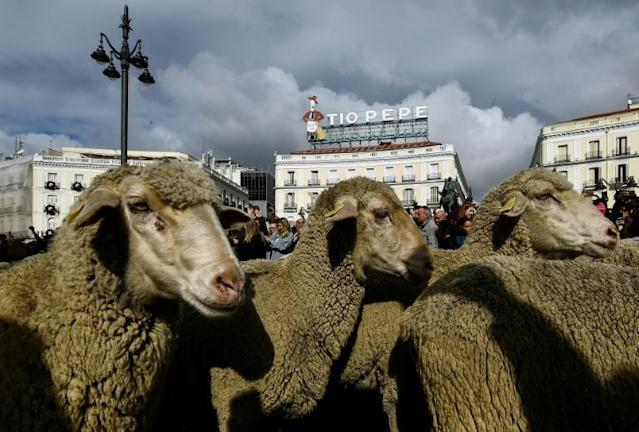 A herd of sheep and goats in the city center of Madrid, Spain (AFP Photo/OSCAR DEL POZO)