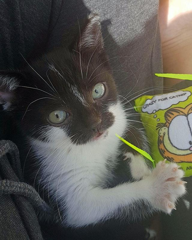 Mowzer, a black and white kitten who is believed to have a rare form of dwarfism