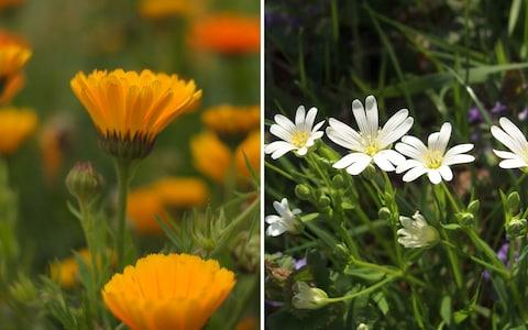 Chickweed and calendula - Credit: Getty