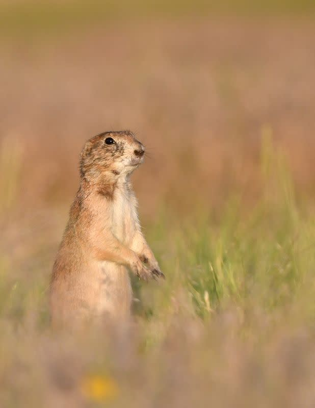 A black-tailed prairie dog (Cynomys ludovicianus), a wildlife host susceptible to Plague, is seen in an undated photograph.