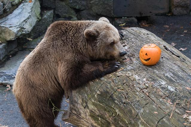 <p>Tapir eating pumpkin on the occasion of the Halloween night in the Zoo where animals got their food served in decorated pumpkins in Zagreb, Croatia, Oct, 28. 2017. (Photo: Davor Puklavec/Xinhua via ZUMA Wire) </p>