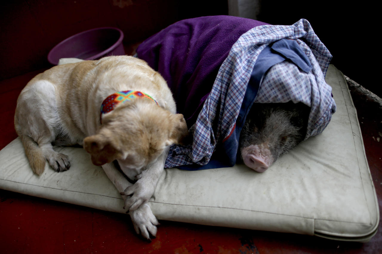 Algeria, left, and Jacinto, rest at a temporary home in the aftermath of a 7.1-magnitude earthquake, in Mexico City, Friday, Sept. 22, 2017. The dog and the pig fled with their owners during Tuesday's powerful earthquake that devastated Mexico City and nearby states. Dozens of other animals have had to flee with their owners from buildings still in danger of collapse. (AP Photo/Natacha Pisarenko)
