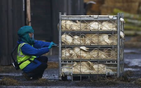 An official inspects a crate of ducks during a cull at a duck farm in Nafferton, northern England