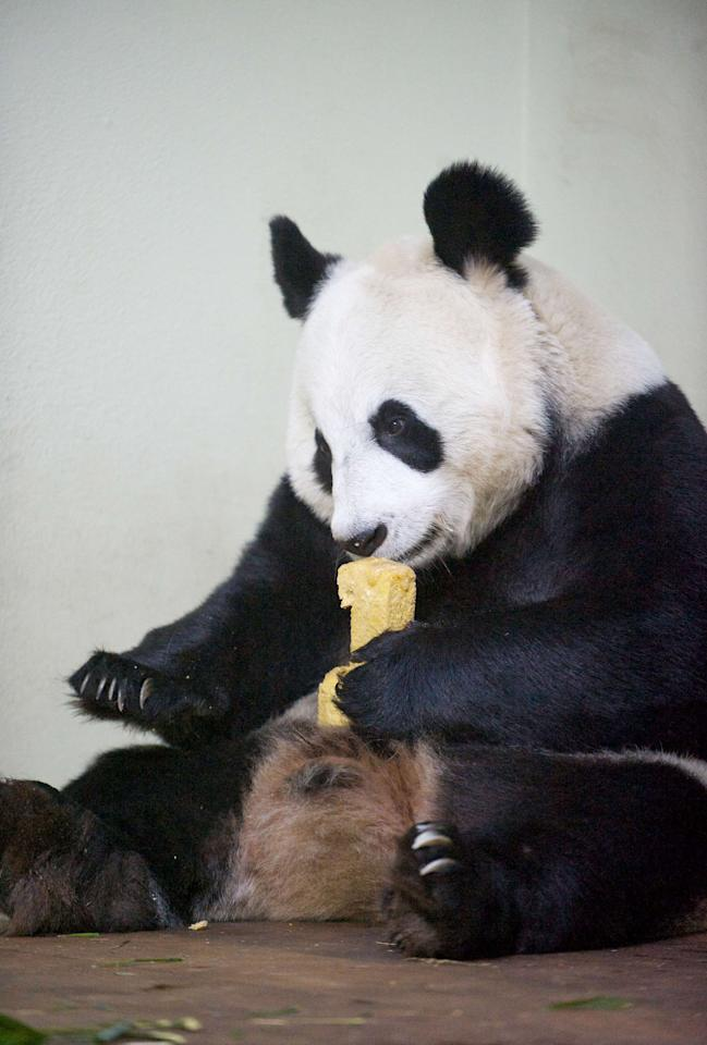 Tian Tian, the female panda, enjoys her daily panda cake which has been baked in the shape of the number one (Rex)