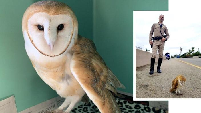 """This barn owl at the Ojai Raptor Center was rescued from Highway 101 in Santa Barbara in """"very critical"""" condition. But the bird is expected to make a full recovery."""