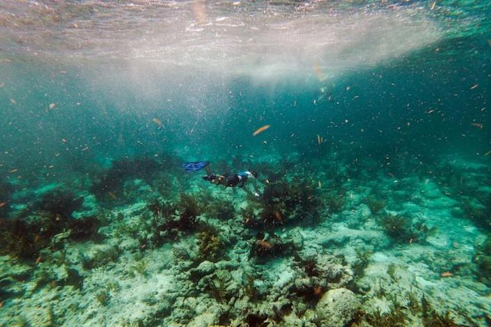 A tourist snorkels over dead coral on the ocean bed in the Straits of Florida near Key Largo on September 23, 2021 (AFP/CHANDAN KHANNA)