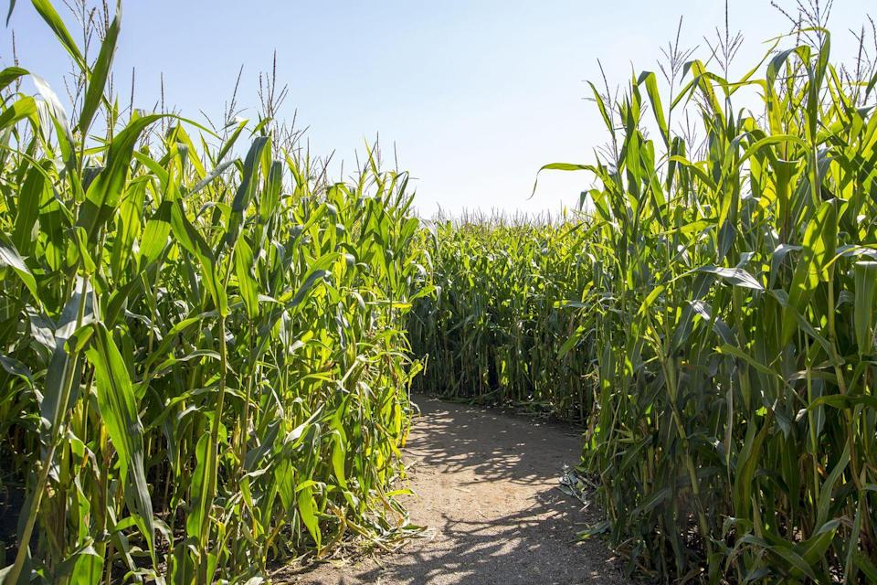 """<p>Starting on September 8, visitors will be able to check out the <a href=""""https://exetercornmaze.com/"""" rel=""""nofollow noopener"""" target=""""_blank"""" data-ylk=""""slk:Exeter, Missouri"""" class=""""link rapid-noclick-resp"""">Exeter, Missouri</a>, eight-acre corn maze and the dozens of other fun fall activities featured on site. If you want to get in on their Halloween attractions, including their Haunted Corn Maze, save your visit for a Friday or Saturday night in October.</p><p><a class=""""link rapid-noclick-resp"""" href=""""https://go.redirectingat.com?id=74968X1596630&url=https%3A%2F%2Fwww.tripadvisor.com%2FTourism-g44355-Exeter_Missouri-Vacations.html&sref=https%3A%2F%2Fwww.countryliving.com%2Flife%2Ftravel%2Fg22717241%2Fcorn-maze-near-me%2F"""" rel=""""nofollow noopener"""" target=""""_blank"""" data-ylk=""""slk:PLAN YOUR TRIP"""">PLAN YOUR TRIP</a></p>"""