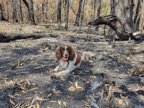 PHOTO: Ryan Tate and his pup Taylor search for koalas injured in the bush fires in Australia. (Courtesy Ryan Tate )