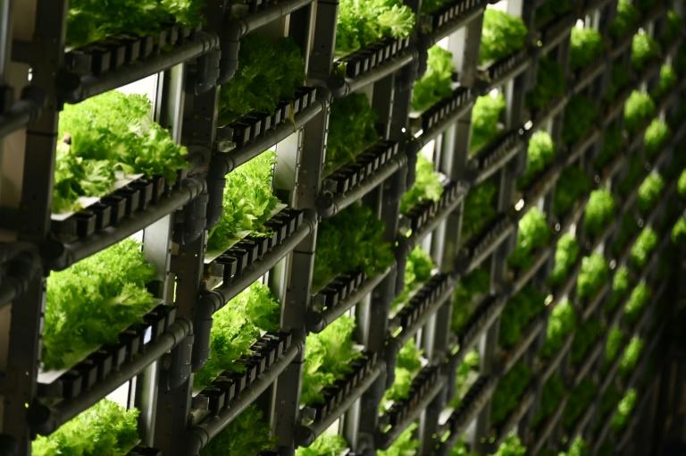 In some facilities in Japan vegetables are grown stacked on shelves several metres high