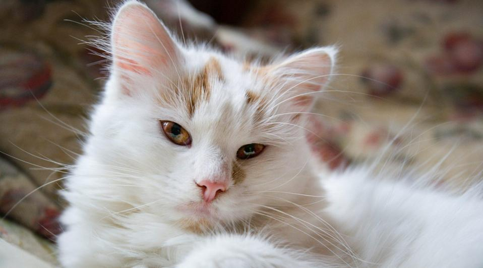 "<p>The <a href=""https://www.dailypaws.com/cats-kittens/cat-breeds/turkish-van"" rel=""nofollow noopener"" target=""_blank"" data-ylk=""slk:Turkish Van"" class=""link rapid-noclick-resp"">Turkish Van</a> is another large-sized feline. They fetch naturally and will often bring balls to their human companions to initiate a game, and they will walk on a leash and harness. Plus, their propensity to swim even earned them the nickname the ""Swimming Cat.""</p>"