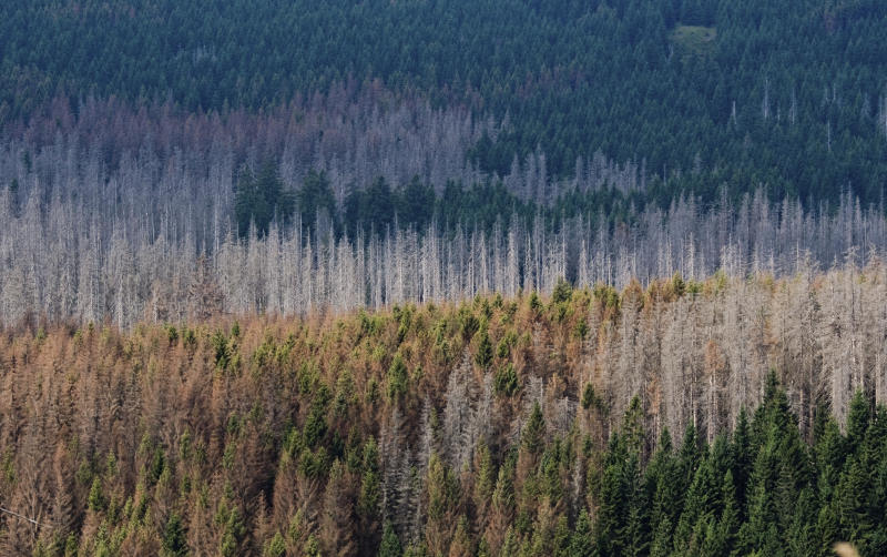 In this Aug. 2, 2019 photo, trees destroyed by the bark beetle stand in a forest near Oderbrueck in the German state Lower Saxony. The sight of bare trees has stoked debate in Germany about the impact of climate change and what measures this heavily industrialized nation should be taking to adapt to and prevent global warming. (Julian Stratenschulte/dpa via AP)