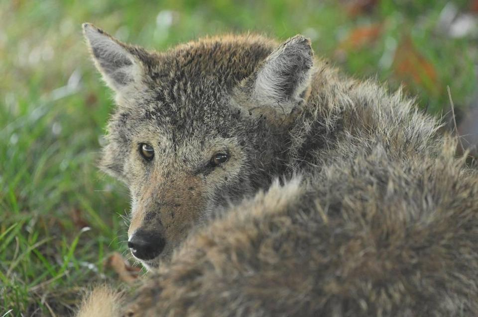 This coyote settled into a south Overland Park backyard last fall. Neighbors could get close only because it was ill. It soon died.
