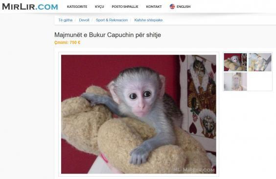 A tiny capuchin monkey on sale for €750 (Four Paws)
