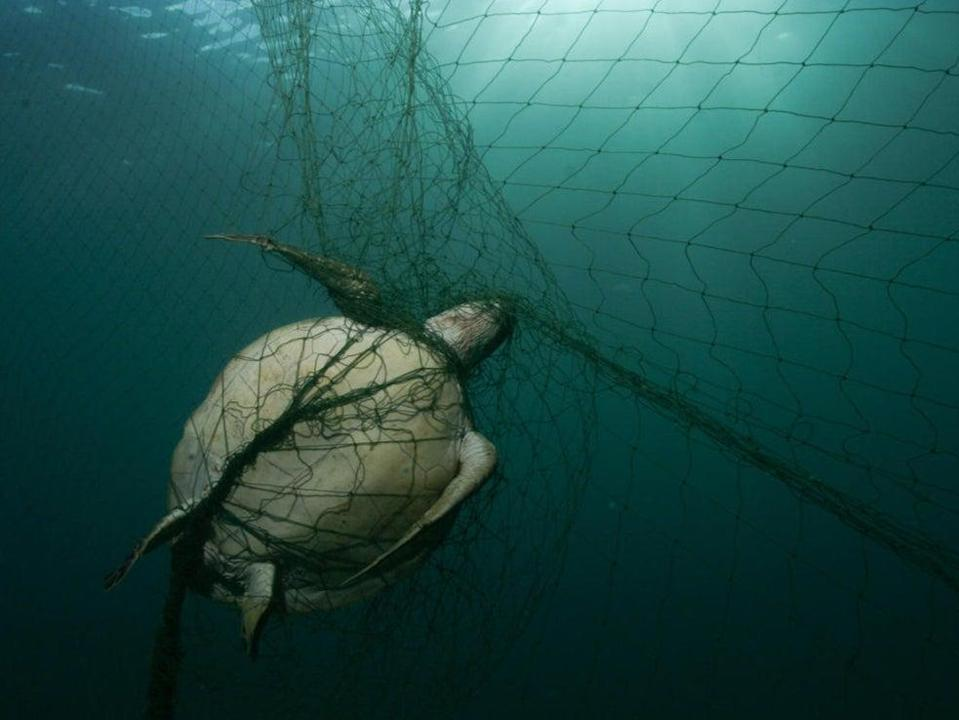 At least 250,000 turtles worldwide die after being caught in nets every year, the study says (Philipp Kanstinger / WWF )