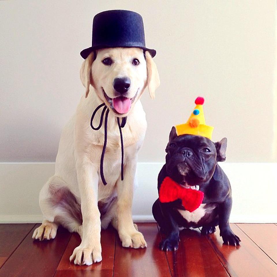 PIC BY SONYA YU / CATERS NEWS - (PICTURED: Trotter and Ruby dressed for the circus) - An adorable little French Bulldog has been playing dress-up and has impressively gathered a following of 30,000 on Instagram. The photogenic hipster, called Trotter, wears a range of outfits from a beret, moustache, top hat and pipe to high heels. Owner and Trotters photographer Sonya Yu said her little pup is simply a natural in front of the camera. SEE CATERS COPY