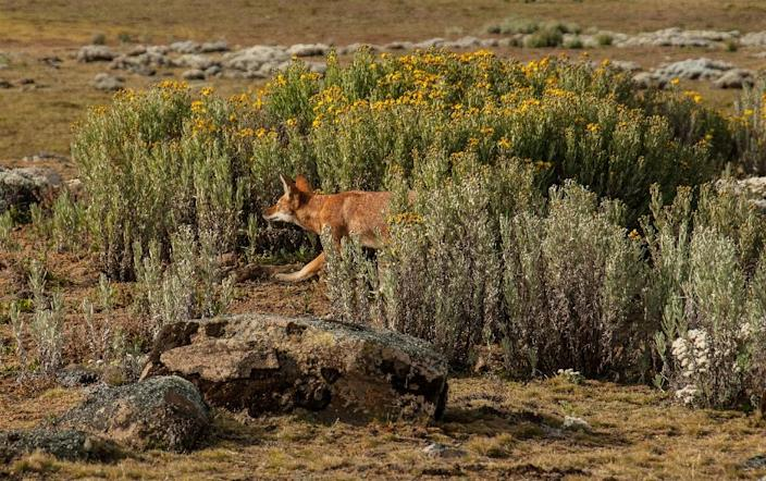 The population of the Ethiopian wolf, Africa's most endangered carnivore, was wiped out by disease spread from domestic dogs (AFP Photo/Timothy J.Colston)