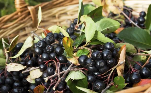 Aronia berry is the new superberry! --