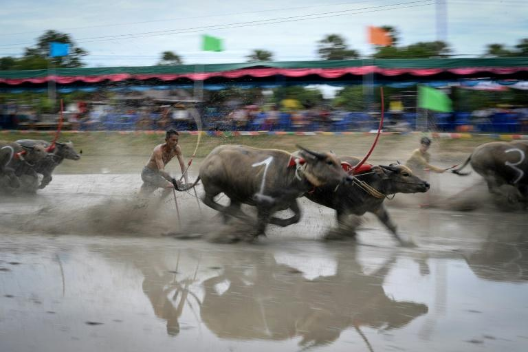 Water buffalo races traditionally mark the end of the annual rice planting (AFP Photo/Lillian SUWANRUMPHA)