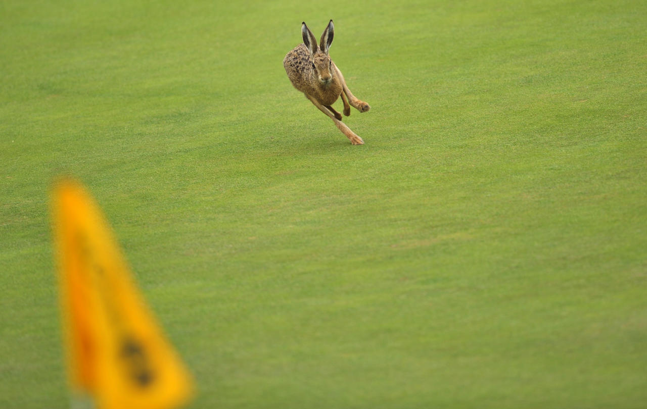 A hare runs on the 6th green on the first day of the 140th British Open Golf championship at Royal St George's in Sandwich, Kent, south east England, on July 14, 2011. AFP PHOTO / GLYN KIRK (Photo credit should read GLYN KIRK/AFP/Getty Images)