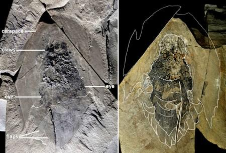 Handout photo of a omplete fossil unearthed in Kootenay National Park in the Canadian Rockies of the marine creature Cambroraster falcatus