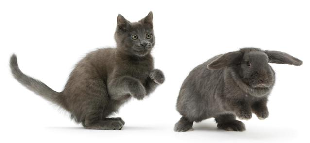 <p>Russian Blue kitten chasing blue Lop rabbit. (Photo: Warren photographic/Caters News) </p>