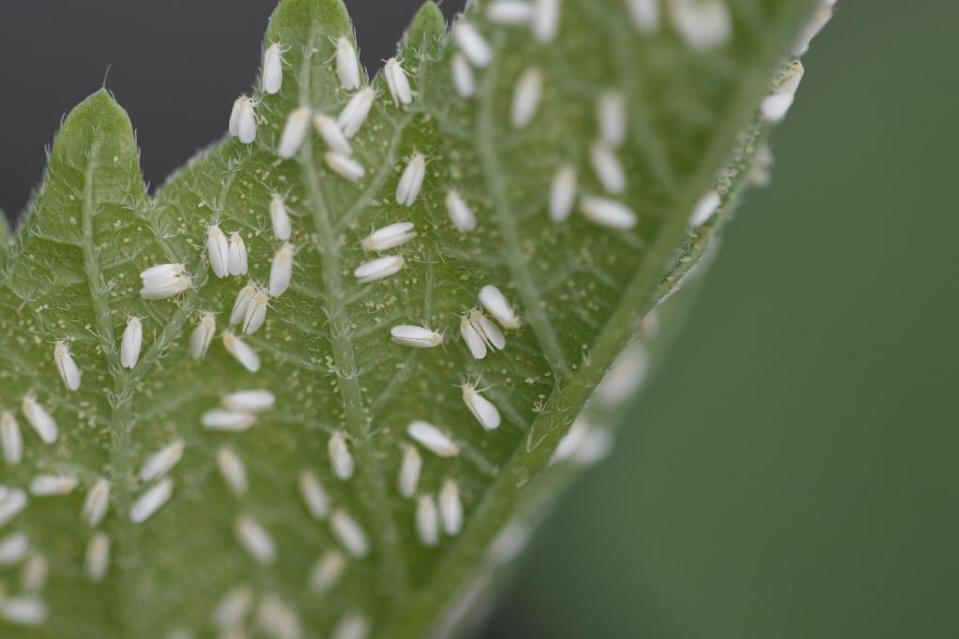 Whiteflies are pictured on a leaf in this photo taken by Dr. Lance Osborne, professor of entomology at the University of Florida in Apopka, Florida in 2005 (AFP Photo/)