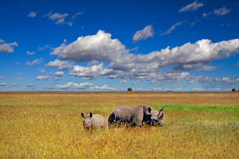 A mother black rhinocerous and her young calf feed on grass in the flat savannah region of northern Tanzania