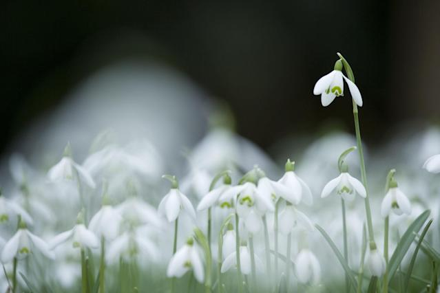 <p>Delicate, drooping white and green flowers, which are also called galanthus, appear in very early spring. They're fairly resistant to digging rodents, and they tend to do best in dark, rich soils, says Hutchins. Prefers part shade to shade.<br></p><p><strong>Try:</strong></p><p><strong><em>•Viridi-apice:</em></strong> White bell-shaped flowers with green tipped segments</p><p><strong><em>•Hippolyta: </em></strong>A double form with white and green bowl-shaped blossoms</p><p><strong><em>•Giant: </em></strong>The largest and earliest of the snowdrops</p>