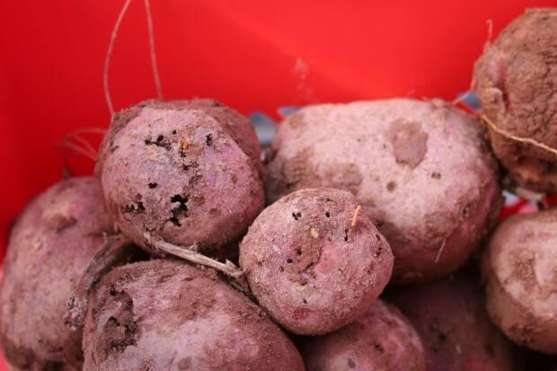 Barrett said a table-stock potato with this kind of wormhole damage on it becomes unmarketable.