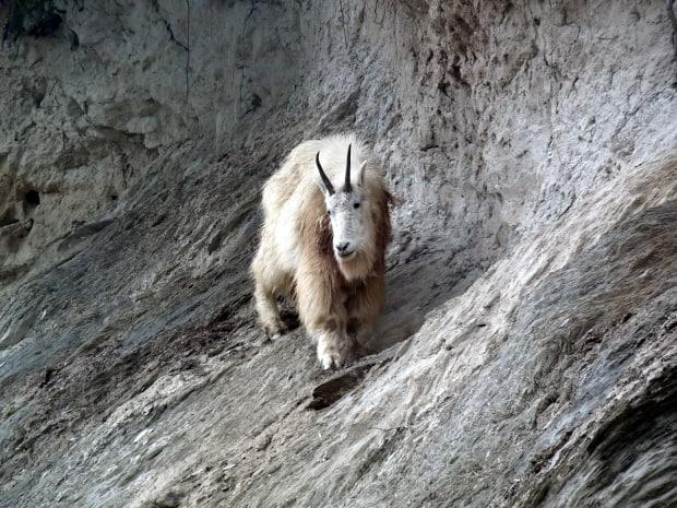 Parks Canada says a mountain goat, like the one seen in this file photo, killed a grizzly bear in Yoho National Park. (Parks Canada - image credit)
