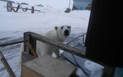 A curious polar bear visits the Amderma meteorological station - Credit: Lyudmila Maksimova