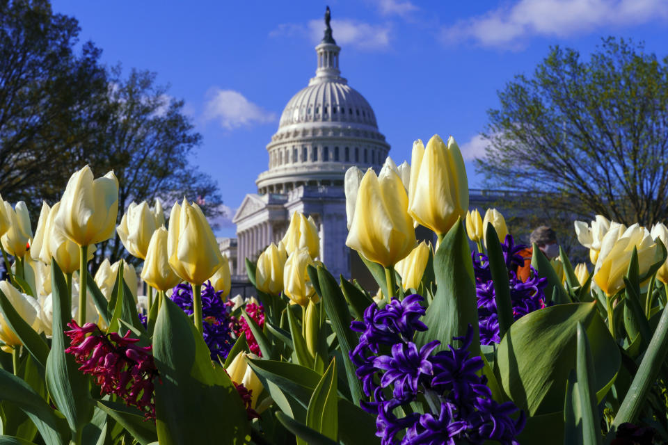 In this April 2, 2021 photo, flowers bloom on Capitol Hill in Washington. President Joe Biden's first address to Congress is an invite-only affair, and no guests allowed. The restrictions for Wednesday's event are due to COVID-19 safety protocols, but will have the added security benefit of a limited number of people inside the Capitol for the president's first major indoor event since he took office just weeks after the Jan. 6 insurrection. (AP Photo/J. Scott Applewhite)