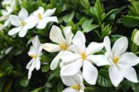 "<p>This beautiful white flower is a regular in many perfumes, but it can also keep homes and rooms smelling fresh for months. Refresh your space with these stunning flowers.</p><p><a class=""link rapid-noclick-resp"" href=""https://go.redirectingat.com?id=127X1599956&url=https%3A%2F%2Fwww.thompson-morgan.com%2Fp%2Fgardenia-crown-jewels%2Fp94550TM&sref=https%3A%2F%2Fwww.housebeautiful.com%2Fuk%2Fgarden%2Fplants%2Fg28899283%2Fplant-alternatives-air-fresheners%2F"" rel=""nofollow noopener"" target=""_blank"" data-ylk=""slk:BUY NOW"">BUY NOW</a></p>"