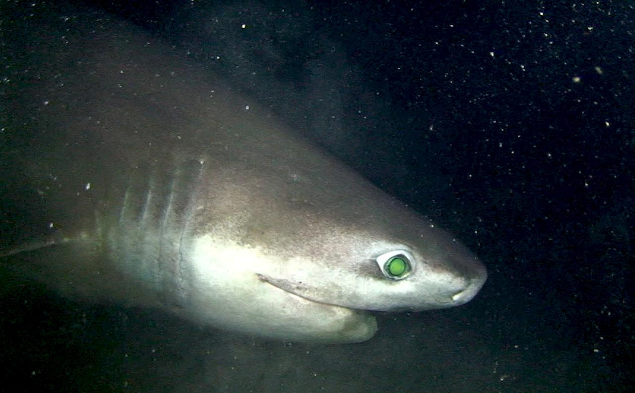 A bluntnose sixgill shark, sometimes called the king of the deep.