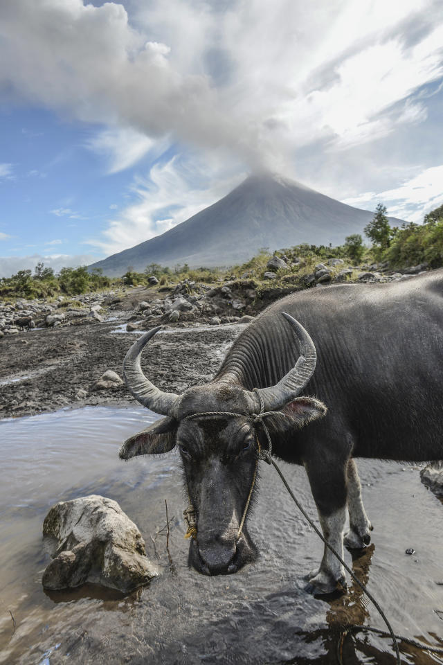 <p>Water buffalos roam a swamp as Mount Mayon spews smoke as seen from Guinobatan, Albay province, Philippines, Jan. 25, 2018. (Photo: Ezra Acayan/NurPhoto via Getty Images) </p>