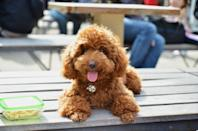 """<p>According to the AKC, there are <a href=""""https://www.akc.org/dog-breeds/poodle-standard/"""" rel=""""nofollow noopener"""" target=""""_blank"""" data-ylk=""""slk:three types of poodles"""" class=""""link rapid-noclick-resp"""">three types of poodles</a>: Toy, Miniature, and Standard. The Standard are the largest, at up to 70 pounds and over 15 inches tall. Despite the name, Miniature Poodles are not the smallest of the three. They actually <a href=""""https://www.akc.org/dog-breeds/poodle-miniature/"""" rel=""""nofollow noopener"""" target=""""_blank"""" data-ylk=""""slk:weigh 10 to 15 pounds"""" class=""""link rapid-noclick-resp"""">weigh 10 to 15 pounds</a>, while <a href=""""https://www.akc.org/dog-breeds/poodle-toy/"""" rel=""""nofollow noopener"""" target=""""_blank"""" data-ylk=""""slk:Toy Poodles are the tiniest"""" class=""""link rapid-noclick-resp"""">Toy Poodles are the tiniest</a> at four to six pounds and less than 10 inches tall. If you're aiming for a small dog, a Toy Poodle is a good choice.</p>"""