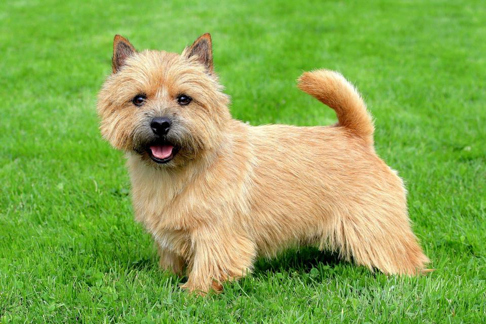 """<p>What looks like a cross between a Yorkshire Terrier and a Carin Terrier, the <a href=""""https://www.dailypaws.com/dogs-puppies/dog-breeds/norwich-terrier"""" rel=""""nofollow noopener"""" target=""""_blank"""" data-ylk=""""slk:Norwich Terrier"""" class=""""link rapid-noclick-resp"""">Norwich Terrier</a> from the United Kingdom is another ratter breed to consider for adoption. This stout dog is spunky and smart, best suited for experienced owners.</p>"""