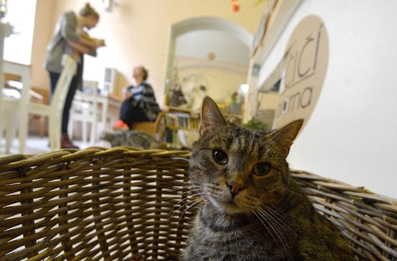About 80 percent of the people who come to the cafe already have cats of their own at home (AFP Photo/Michal Cizek)