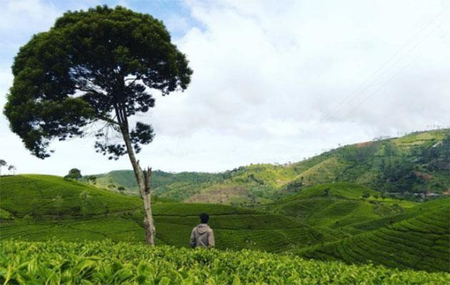 There are plenty of tea estates in the district of Pangalengan, south of Bandung. Photo: Instagram