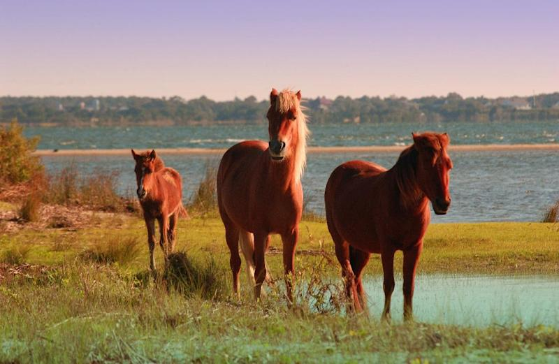In an undated photo provided by VisitNC.com., wild horses graze on Shackleford Banks, part of the Cape Lookout National Seashore. Beach communities and environmentalists are pushing back against a proposal to give the National Park Service the option of using sand to fight erosion on North Carolina's pristine Shackleford Banks. (AP Photo/VisitNC.com.,Bill Russ)