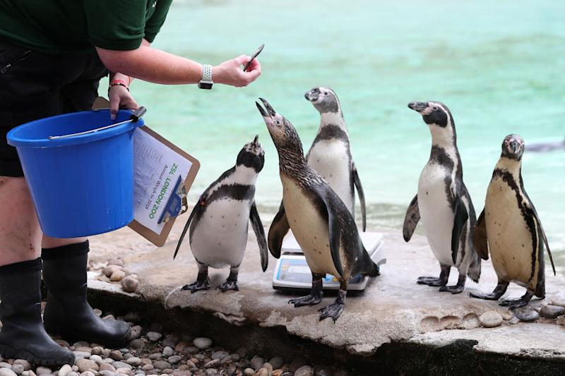 A Humboldt penguin is offered a fish during a photocall at London Zoo on August 23, 2018, to promote the zoo's annual weigh-in event. - During the weigh-in, animals across the zoo have their vital statistics recorded including their height and weight and the information is then shared with zoos across the world to help zookeepers compare important information on thousands of endangered species. (Photo by Daniel LEAL-OLIVAS / AFP) (Photo credit should read DANIEL LEAL-OLIVAS/AFP/Getty Images)