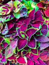 "<p>Coleus is an annual grown for its stunning foliage, not the insignificant flower spikes that appear in summer. It's quite eye-catching in bright colors that play well with other annuals in mixed containers. Coleus may take full sun or shade, depending on the variety. </p><p><a class=""link rapid-noclick-resp"" href=""https://www.provenwinners.com/plants/solenostemon/colorblaze-royale-cherry-brandy-coleus-solenostemon-scutellarioides"" rel=""nofollow noopener"" target=""_blank"" data-ylk=""slk:SHOP COLEUS"">SHOP COLEUS</a></p>"